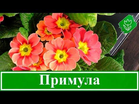🌻 Садовая примула – посадка и уход в открытом грунте; многолетняя примула – выращивание из семян