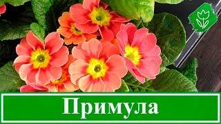 видео Гербера садовая: посадка и уход, выращивание, фото