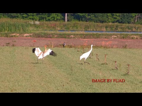 WHOOPING CRANE WITH YOUNG WOOD COUNTY WISCONSIN 2014
