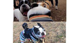 12月16日、国内最大級犬数のドッグラン、代々木公園ドッグランにて、ボ...
