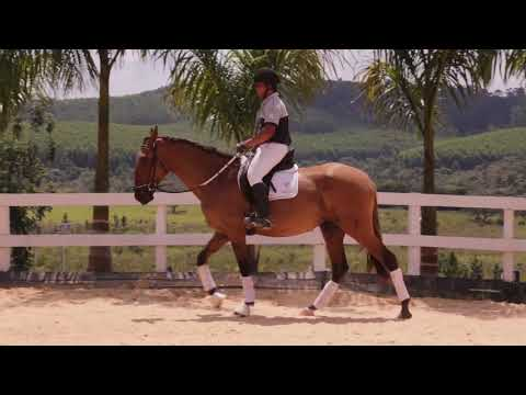 Lote 16 -Nice do castanheiro - Cavalos puro sangue Lusitanos - Coudelaria aguilar