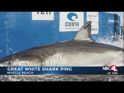 Thumbnail: 12-foot great white shark lingers off Myrtle Beach coast