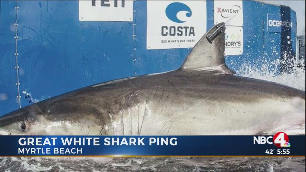 12 Foot Great White Shark Lingers Off Myrtle Beach Coast
