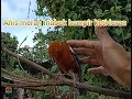 Kicau anis merah di alam bebas (orange headed thrush sound) android
