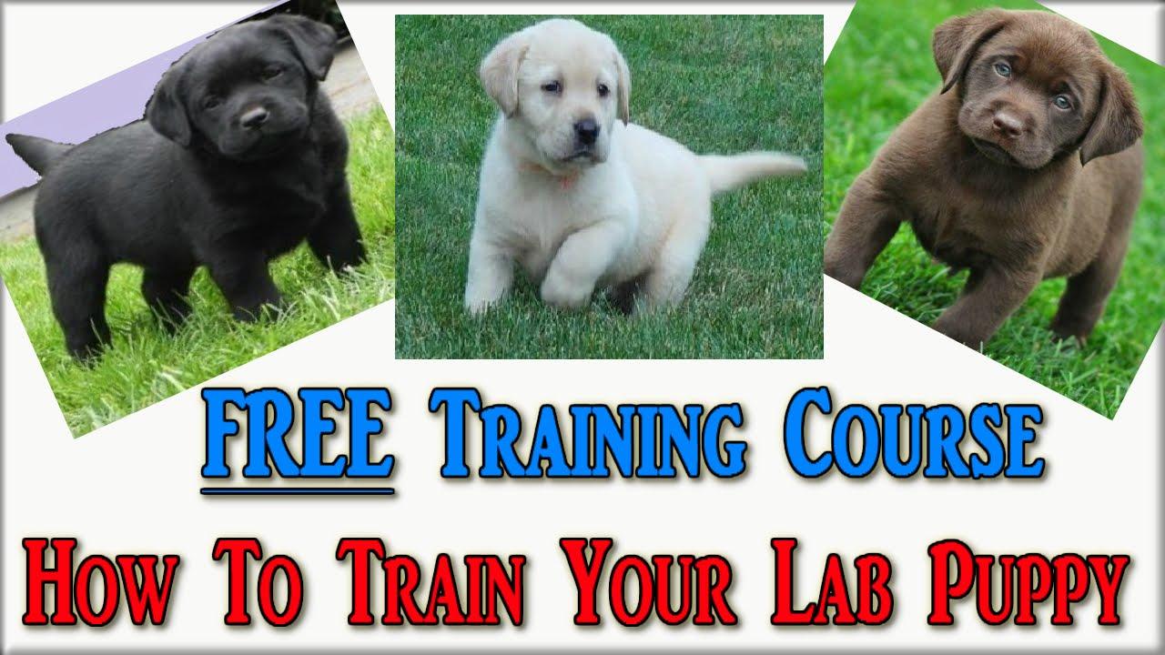 How To Train Labrador Puppies Free Course Labrador Retriever