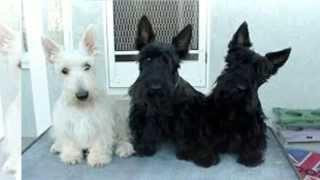 How To Train Scottish Terrier