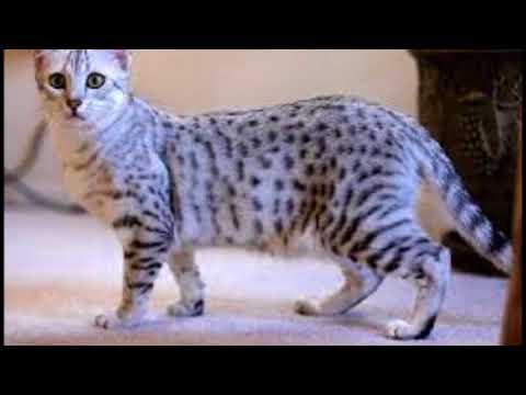 Mau cat