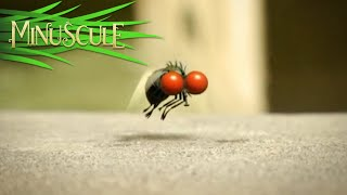 Minuscule - mouche folle/Mad Fly (Season 1)