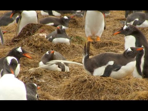 Penguins Pooping All Over Each Other (So gross)