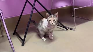 Meet Petunia, a 3-legged kitten adopted from the Wisconsin Humane Society