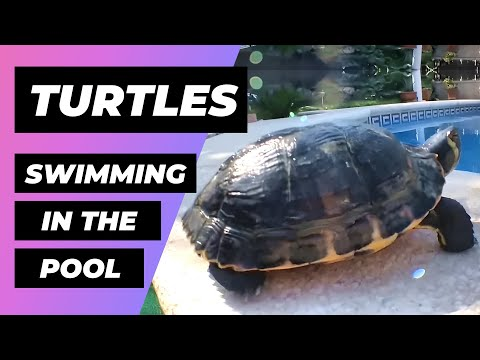 Turtles At The Pool 🐢 Tortugas En La Piscina 🐢 Trachemys Types | Tipos de Trachemys