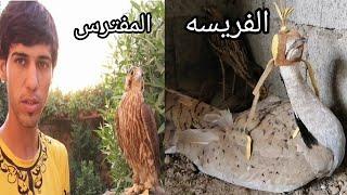 طائر لو رئى الصقر يموت من شدة الخوف
