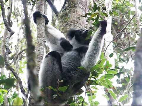 Lemurs of Madagascar - Telofangady (Iarivoko)