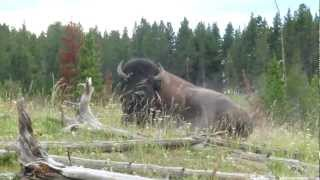 Wild Buffalo at Yellowstone National Park