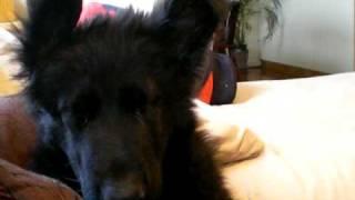 My Black German Shepherd Puppy 'texas' Falling Asleep