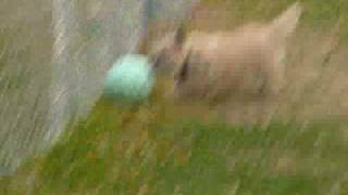 Cairn Terrier Neha Plays Soccer