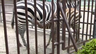 徳山動物園のグラントシマウマのベビー。 8月に生まれ、小夏ちゃんと名...