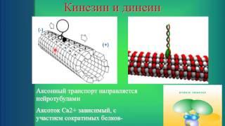 видео Аксоны и дендриты нейронов