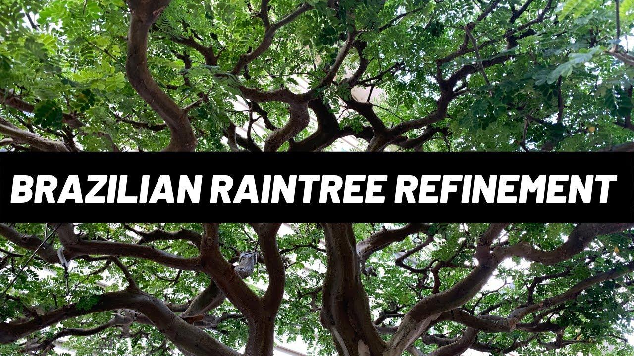 Brazilian Raintree Bonsai - Refinement Work (The Bonsai Supply)