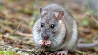 Rat infestations on the rise in B.C.