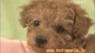 a2-net.ocnk.net(toy poodle) つぶらな瞳が、たまらなくカワイイ! Home...