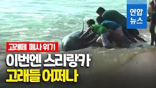 스리랑카 해변서 고래 100여 마리 길 잃어…구조에 진…
