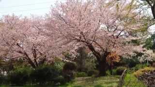 仁徳天皇陵と大仙公園と桜 スライド この動画は YouTube スライドショー...