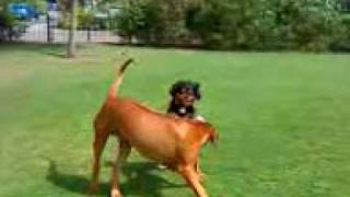 Axl The Rhodesian Ridgeback Plays With Is Best Mate Bob The Cavalier King Charles