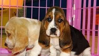 Basset Hound, Puppies, For, Sale, In, Houston, Texas, Tx, Mcallen, Mckinney, Mesquite, Plano