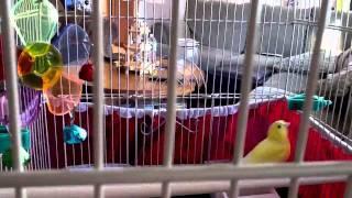 Female canary singing