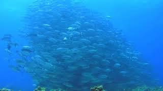 ヘンデル組曲「水上の音楽」アラ・ホーンパイプ & ギンガメアジの群れ