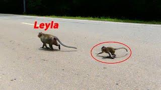 Wow baby monkey Titan try to cross the street with monkey Leyla