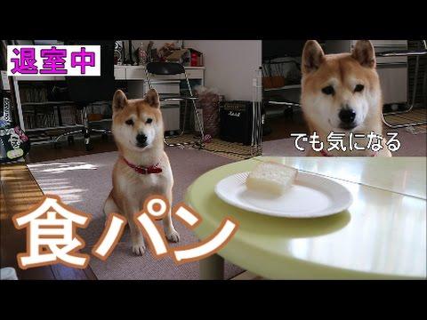 柴犬小春 【信頼】コーヒー作ってくるから、待ってて!食パンみたいな毛色の犬と食パンを食べる^^