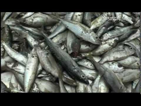 GEISHA brand Mackerel products in W. Africa