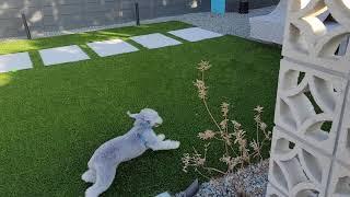 Bedlington Terrier  6 months old
