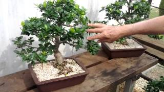 Visita no Bonsai Center Romagnole em Mandaguari