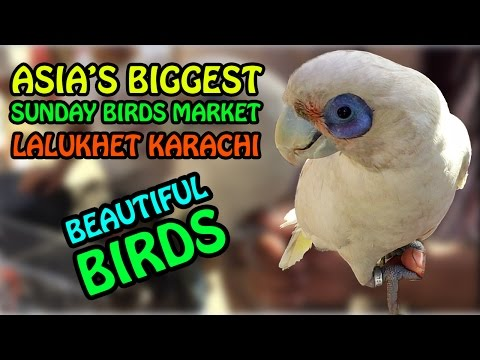 Beautiful Birds | Asia's Biggest Sunday Birds Market Lalukhet Karachi | Parrots for Sale