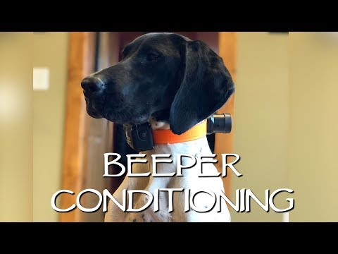Beeper Conditioning with The DT Systems RAPT 1450 - Upland Bird Dog Training