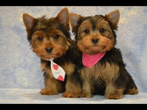 Yorkie Puppies Potty Trained Tips To Housetraining Yorkshire Terrier
