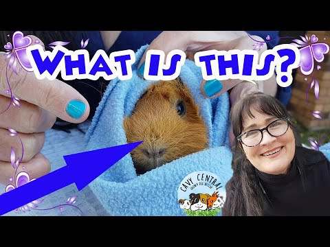 Crusty Hard Skin On The Nose Of A Guinea Pig What Could It Be Chelitis