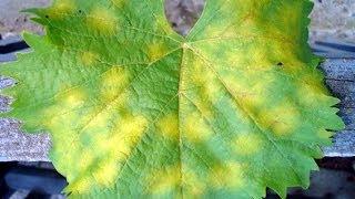 видео Выращивание гороха на даче: лучшие сорта, посев, правила ухода, поливы, подкормки, подвязка, сбор урожая, борьба с вредителями и болезнями