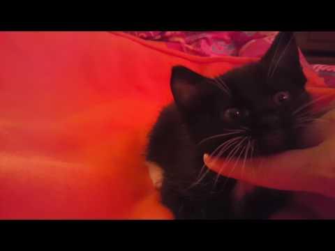 Adorable Manx Rescue Kitten!!!