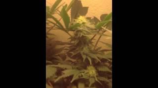 Cfl, hash plant. Afgoo. 3 1/2 weeks into flowering 1st vid