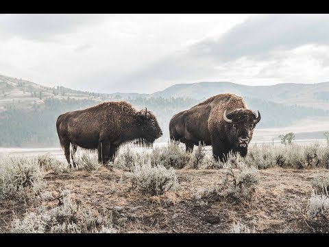 BISON AND WOLF SIGHTING IN YELLOWSTONE! (Day 2)