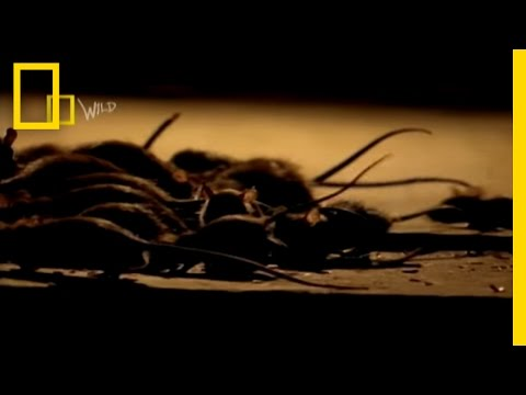 Invasion of the Snakeheads! | National Geographic