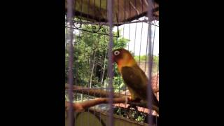 Love bird olive