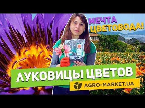Луковицы цветов | Хосты, глоксинии, тигридии, лилейники, лилии | Agro-Market.ua