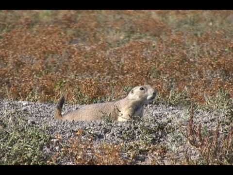 PRAIRIE DOG Town - South Dakota