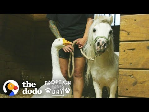 Rescued Goose, Mini Horse Are Inseparable  Watch Them Get Adopted Together | The Dodo Adoption Day