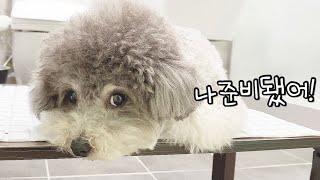 털깎자! 하면 스스로 테이블 위로 올라가 기다리는 강아지 (방구석 셀프미용)